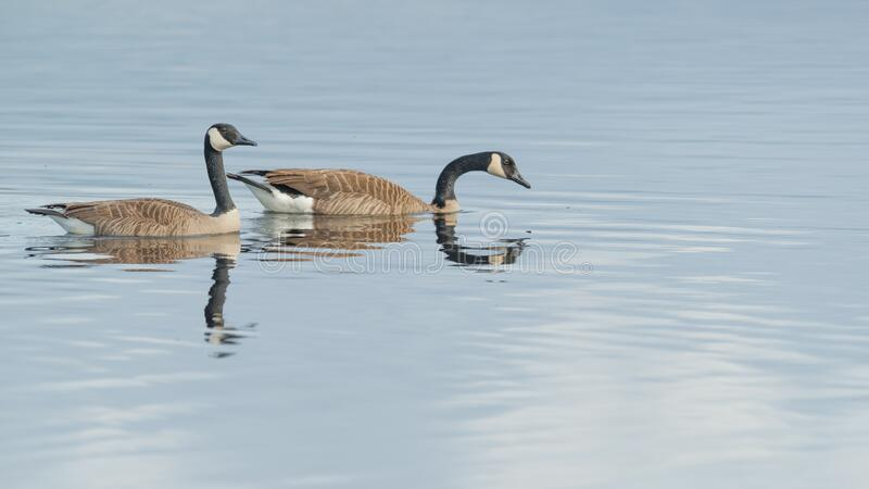 Pair of Canada geese on beautiful calm blue peaceful tranquil lake - taken during Spring migrations at the Crex Meadows Wildlife A. Rea in Northern Wisconsin royalty free stock images