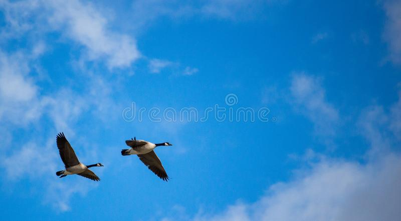 A pair of Canadian geese in flight. stock photography