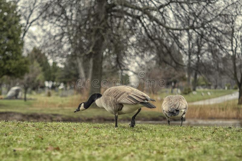 Pair of Canadian geese on lake. Natural, wild, field, species, outdoors, water, birds, british, columbia, waterfowl, nature, feather, canada, feeding, path stock image
