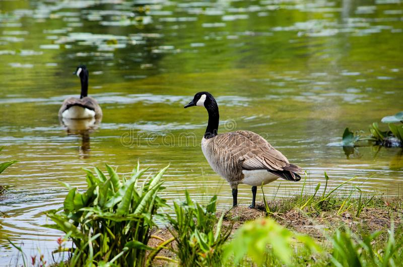 Pair of canadian geese in a pond royalty free stock images