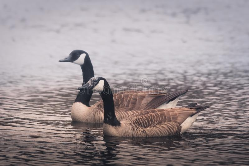 Pair of Canadian geese swimming in mist stock photography