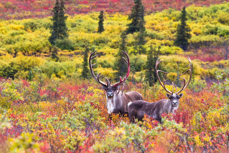 A pair of caribou in autumn in Denali national park in Alaska royalty free stock photo