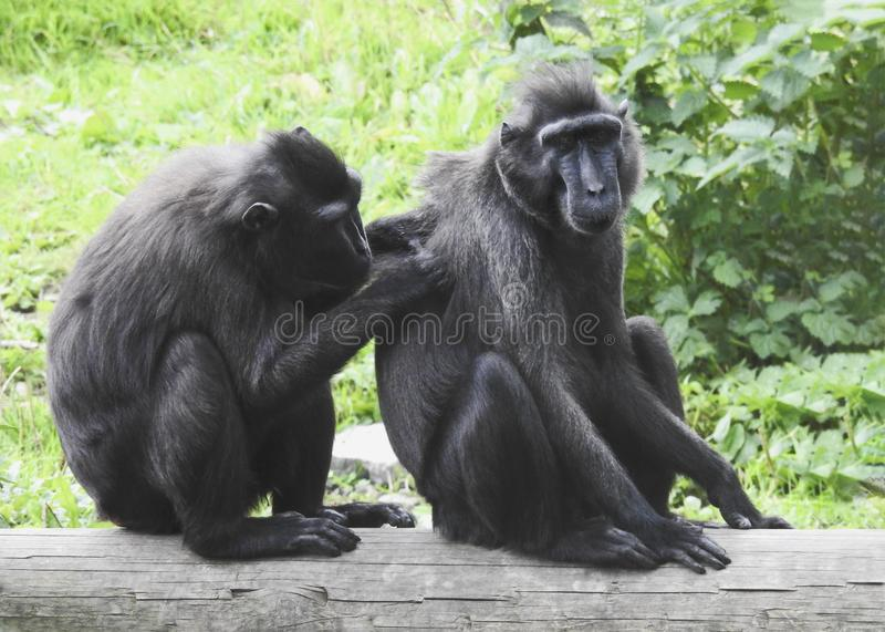 Pair of Celebes crested macaque. Celebes crested macaque relaxing with one  grooming the other,  facing camera , green background stock photos