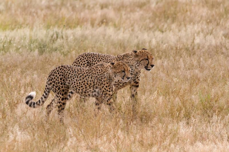 Pair of cheetah walking in long grass stock images