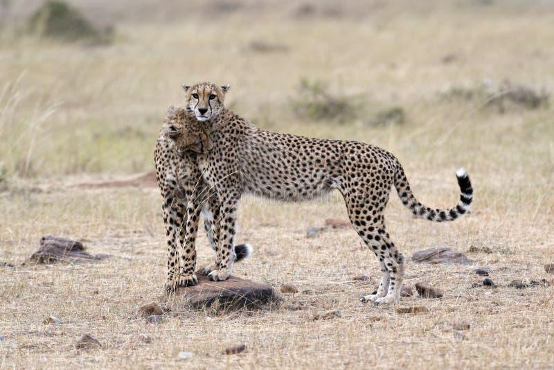 Pair of Cheetahs royalty free stock photos