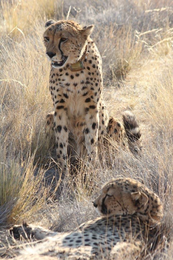 Pair of Cheetahs stock photo
