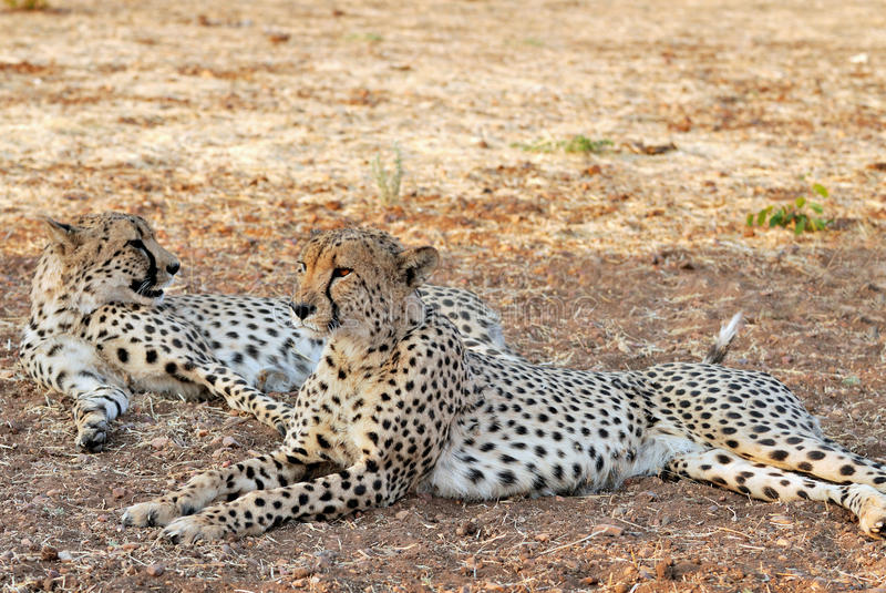 Pair of Cheetahs in the shade (Acinonyx jubatus) stock image