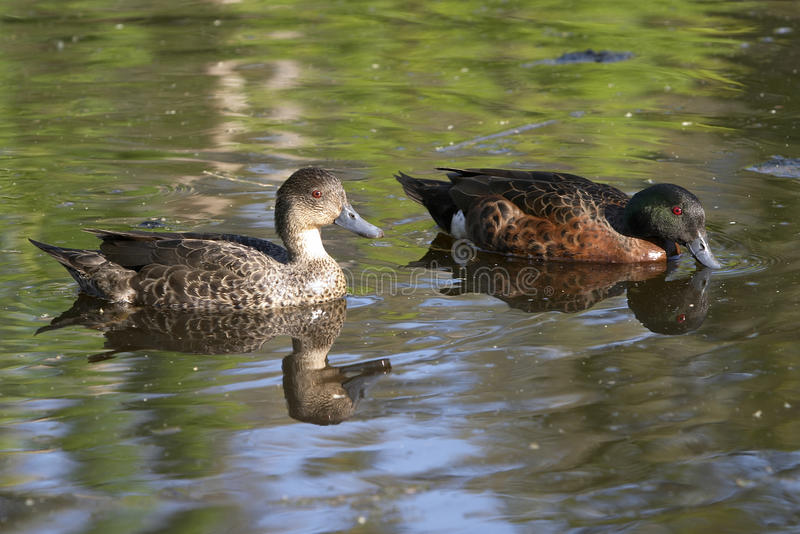 Pair of chestnut teal. Australian ducks common in most wetlands royalty free stock photo