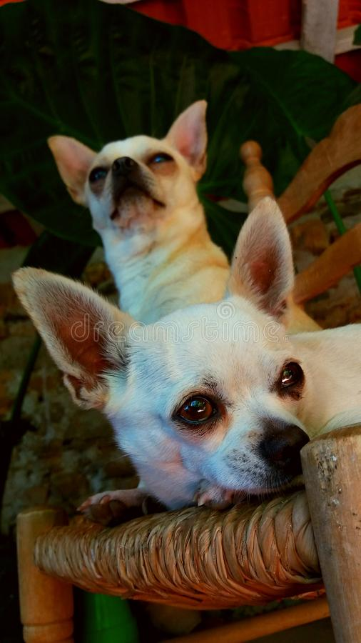 Pair of chihuhuas. royalty free stock images