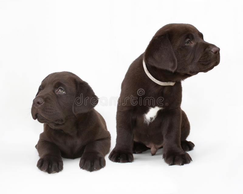 Pair of chocolate labrador retriever puppies. Studio shot of two chocolate labrador retriever puppies looking at different directions royalty free stock image
