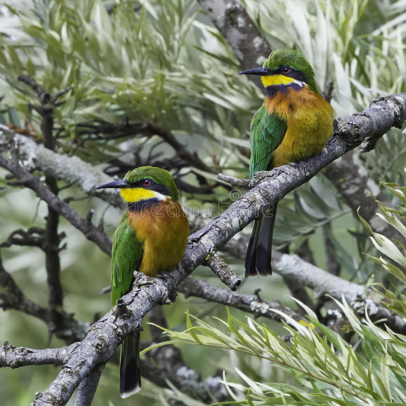 Pair of Cinnamon-chested Bee-eaters royalty free stock photos