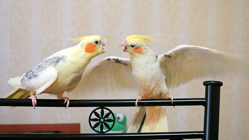 Cockatiel birds arguing stock photos