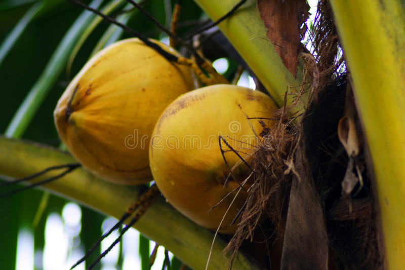 A pair of coconut at tree. A pair of yellow coconut at tree stock photography
