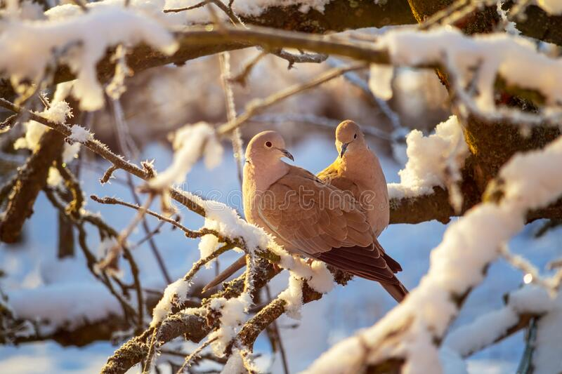 A pair of a collared doves on branch of snowy tree royalty free stock image