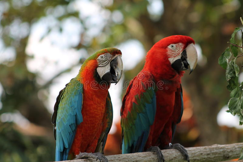 Pair of colorful Macaws. A couple of colorful macaws faces in profile. Lion Country Safari in South Florida royalty free stock image