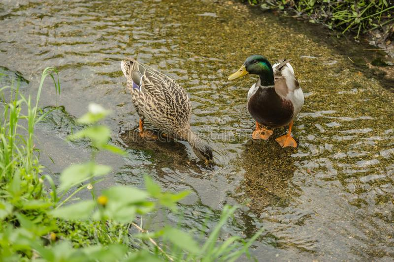 A pair of colorful mallard ducks standing in water stock photo