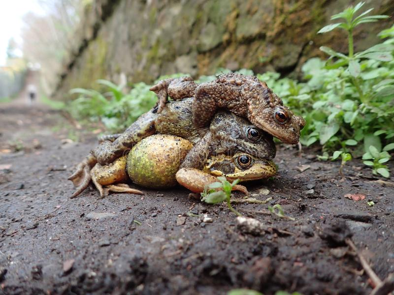 Pair of common frogs, Rana temporaria, with male common toad, Bufo bufo. Spring, Scotland. Courtship behaviour in the European or common frog, Rana temporaria stock photos