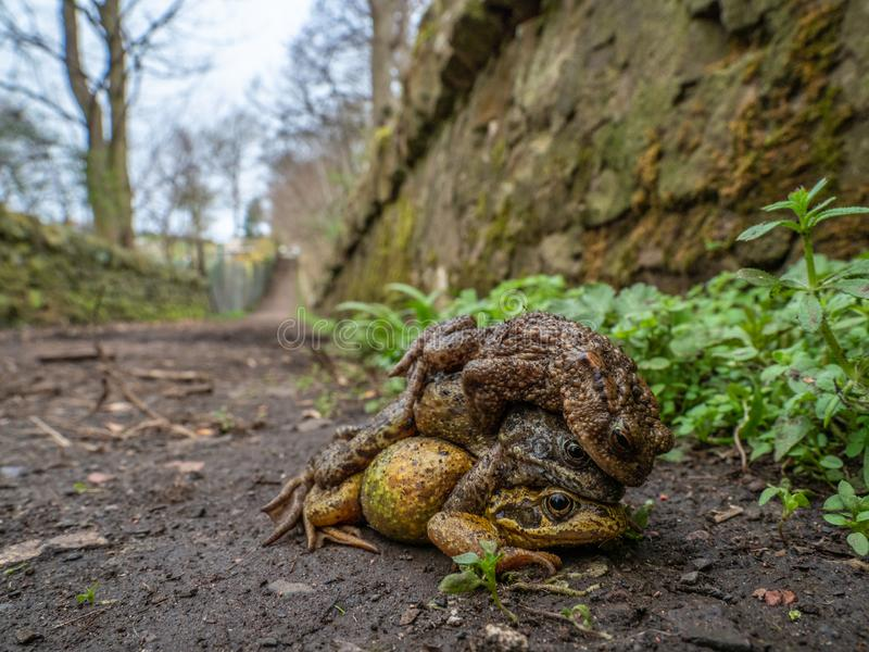 Pair of common frogs, Rana temporaria, with male common toad, Bufo bufo. Spring, Scotland. Courtship behaviour in the European or common frog, Rana temporaria stock image