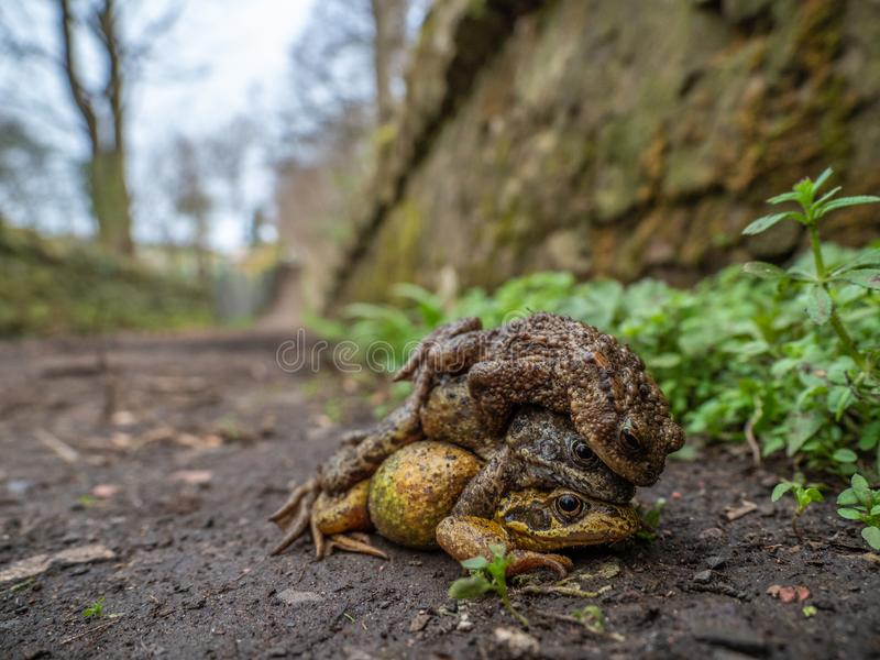 Pair of common frogs, Rana temporaria, with male common toad, Bufo bufo. Spring, Scotland. Courtship behaviour in the European or common frog, Rana temporaria royalty free stock photography