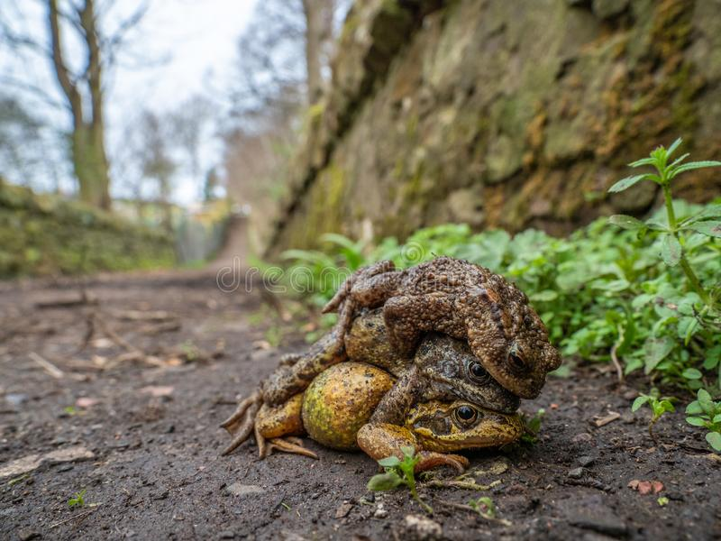 Pair of common frogs, Rana temporaria, with male common toad, Bufo bufo. Spring, Scotland. Courtship behaviour in the European or common frog, Rana temporaria stock photography