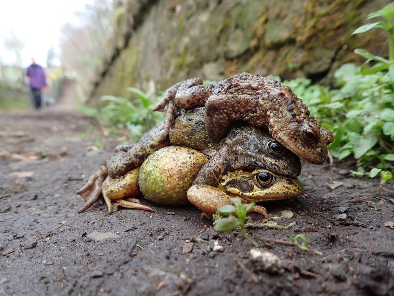 Pair of common frogs, Rana temporaria, with male common toad, Bufo bufo. Spring, Scotland. Courtship behaviour in the European or common frog, Rana temporaria royalty free stock photo