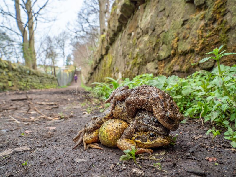 Pair of common frogs, Rana temporaria, with male common toad, Bufo bufo. Spring, Scotland. Courtship behaviour in the European or common frog, Rana temporaria royalty free stock images