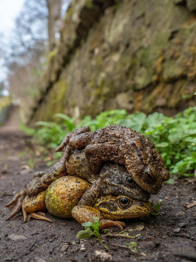Pair of common frogs, Rana temporaria, with male common toad, Bufo bufo. Spring, Scotland. Courtship behaviour in the European or common frog, Rana temporaria stock photo