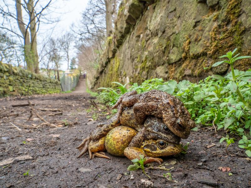 Pair of common frogs, Rana temporaria, with male common toad, Bufo bufo. Spring, Scotland. Courtship behaviour in the European or common frog, Rana temporaria royalty free stock image