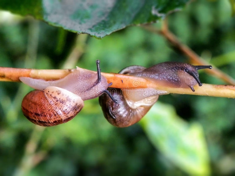 Pair of Common garden snails. A close-up view of a pair of common garden snails on a lemon tree stock photography