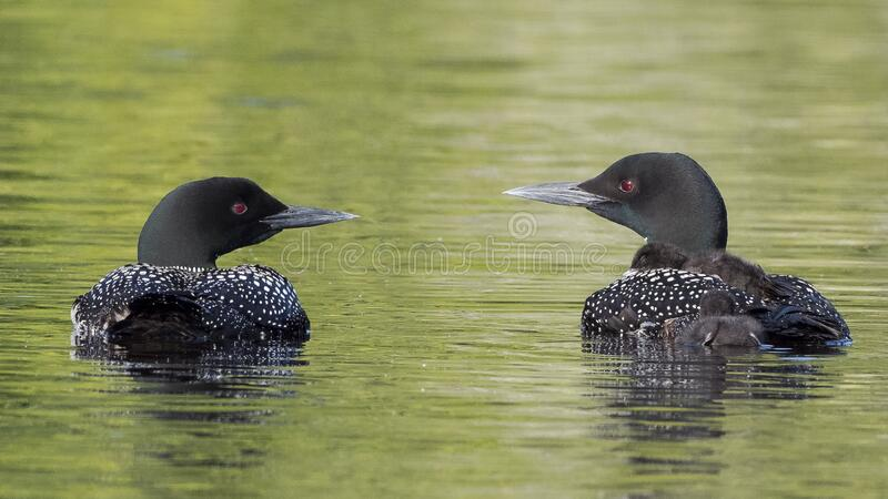 Common loons with young riding and swimming stock images