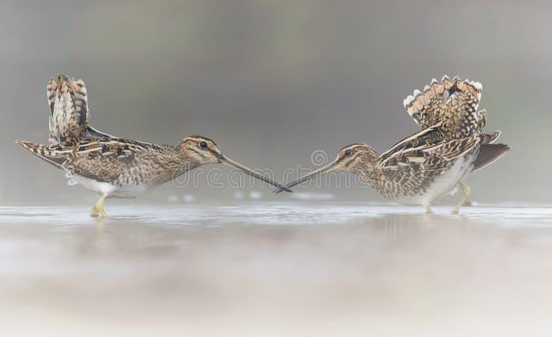 Pair of Common Snipe in love. Common Snipe in love in misty morning royalty free stock image