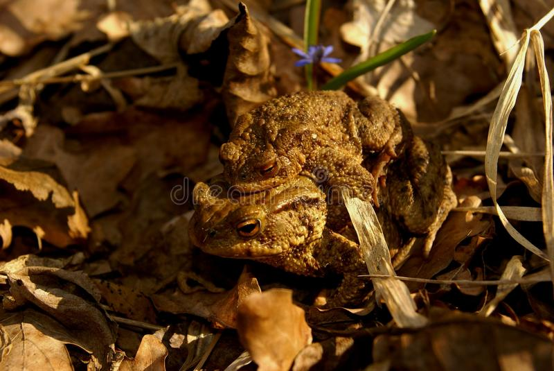 Download Pair of common toads stock photo. Image of threatened - 25615440