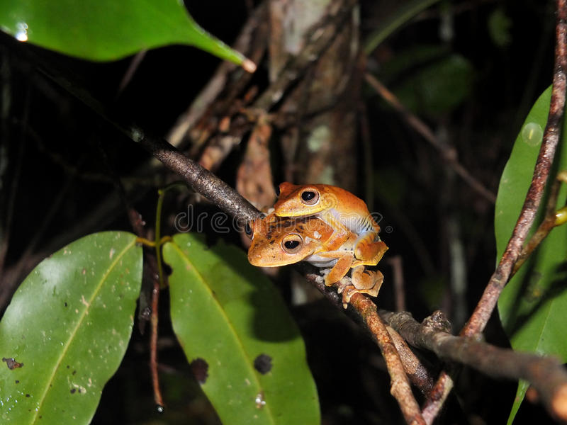 Pair of Convict tree frog at night. Pair of Convict tree frog, Hypsiboas calcaratus, sitting on a jungle tree branch stock photos
