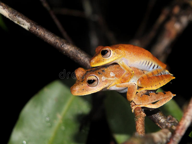 Pair of Convict tree frog at night. Pair of Convict tree frog, Hypsiboas calcaratus, sitting on a jungle tree branch stock image
