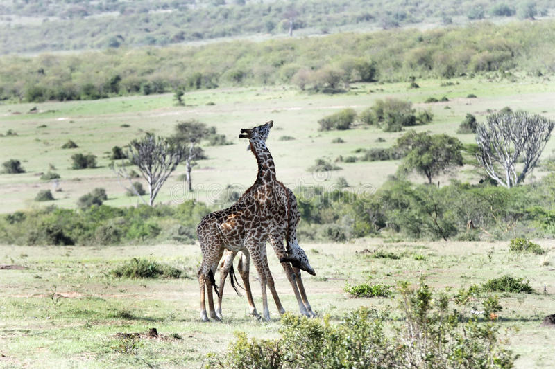 A pair of courting Giraffes stock image