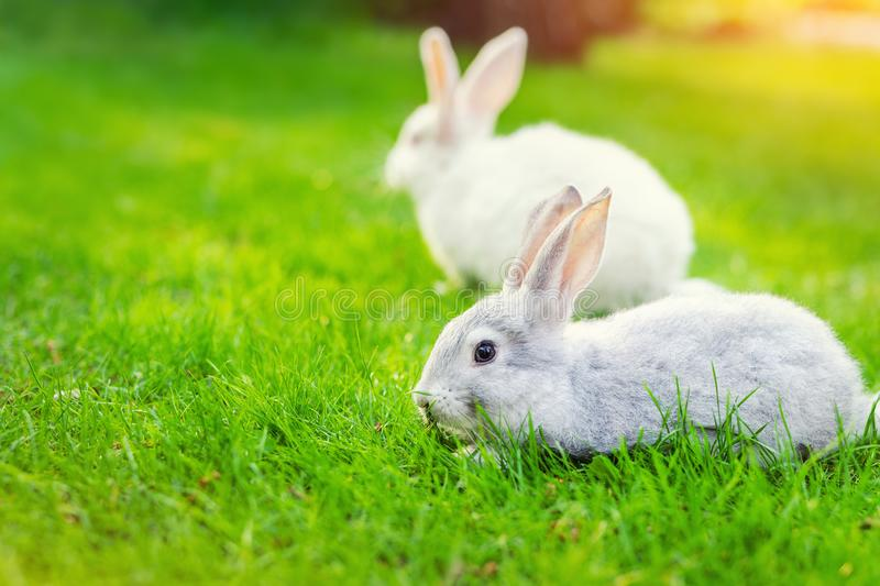 Pair of Cute adorable white and grey fluffy rabbit sitting on green grass lawn at backyard.Small sweet bunny walking by meadow in royalty free stock image