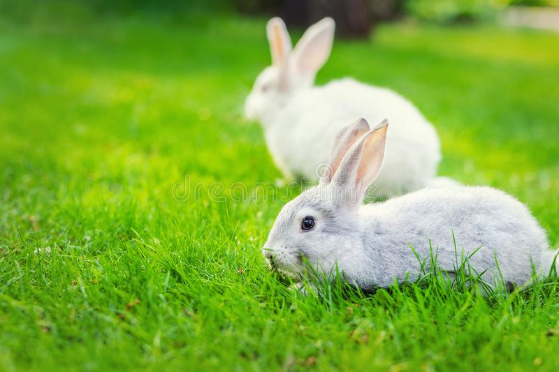 Pair of Cute adorable white and grey fluffy rabbit sitting on green grass lawn at backyard.Small sweet bunny walking by meadow in. Pair of Cute adorable white stock photo