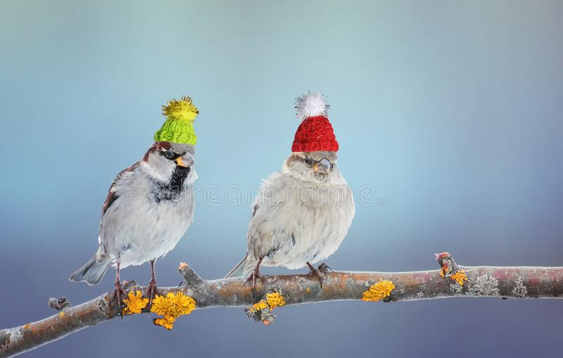 a pair of cute little Sparrow bird sitting in a tree in the garden on a bright day in winter knit hats stock images