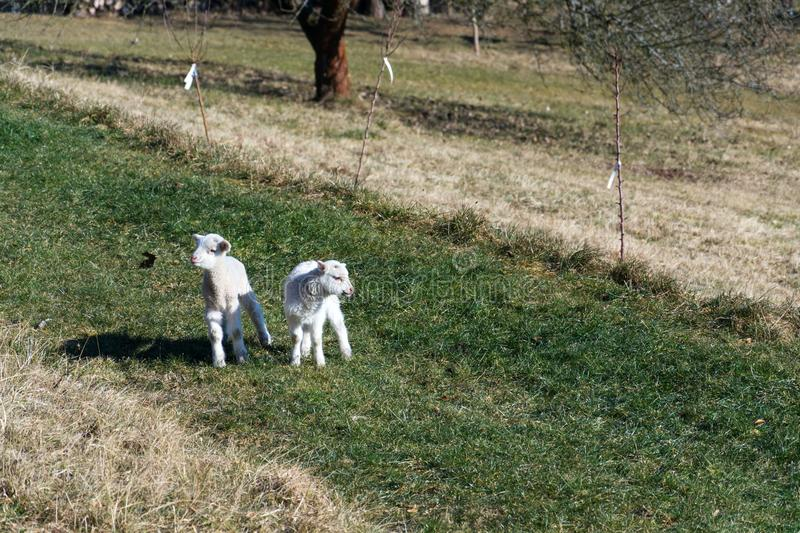 Pair of cute newborn little lambs on pasture, sunny day royalty free stock photography