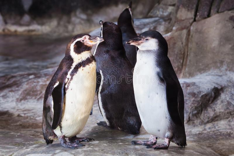 A pair of cute penguins the Humboldt penguin are facing each other, the bird relationship is love or care for the offspring royalty free stock photos