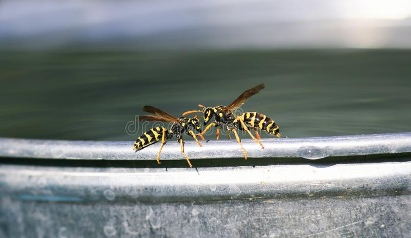 Pair of dangerous insect wasp flew for water on a metal bucket in the garden and with fighting. A pair of dangerous insect wasp flew for water on a metal bucket stock images