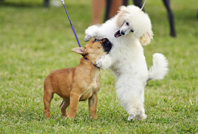 A pair of different breed pedigree playful puppy dogs playing together stock images