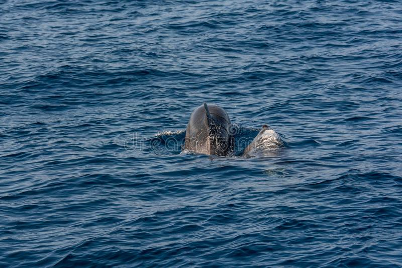 Pair of dolphins swimming and diving - rear view. Tenerife, Spain royalty free stock images