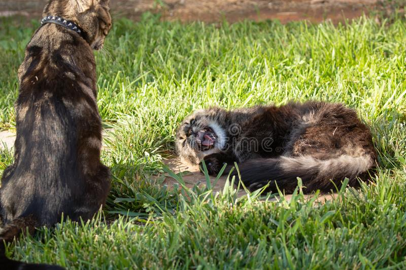 A pair of domestic cats disputing the rights to a napping spot. One is sitting up and the other laying down royalty free stock images