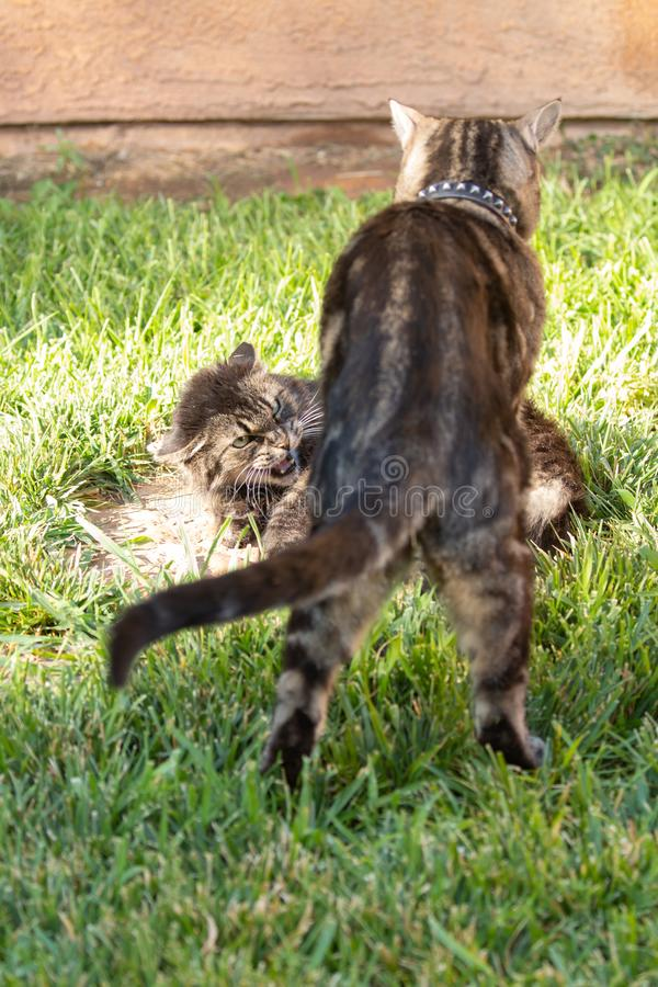 Pair of domestic cats, one teasing the other with the recipient snarling in irritation towards her companion. A pair of domestic cats, one teasing the other with stock images