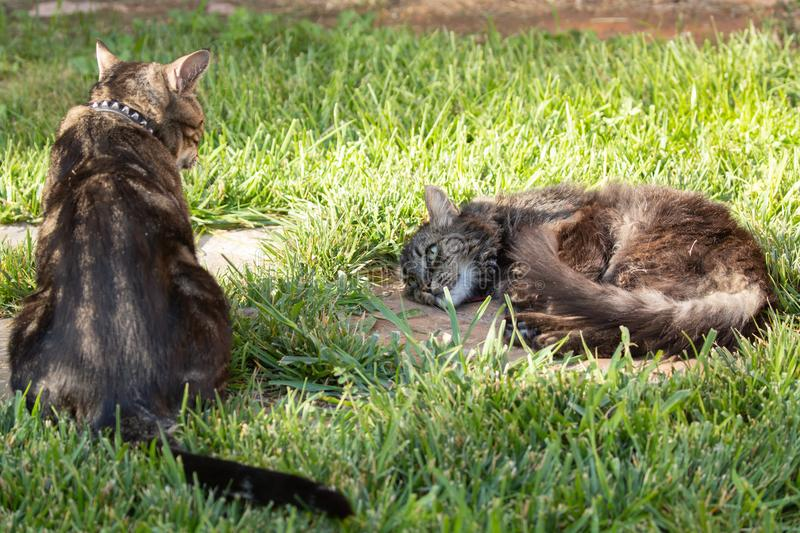 Pair of domestic cats watching each other one sitting up and one laying down. A pair of domestic cats watching each other one sitting up and one laying down stock photography
