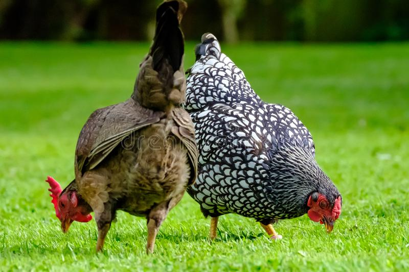 Pair of domestic chickens seen feeding in a summer garden. The birds, part of a small flock is allowed to roam free in this English garden, with daily eggs stock images