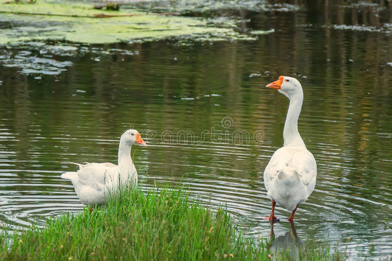 Pair of domestic geese on traditional farm stock photos