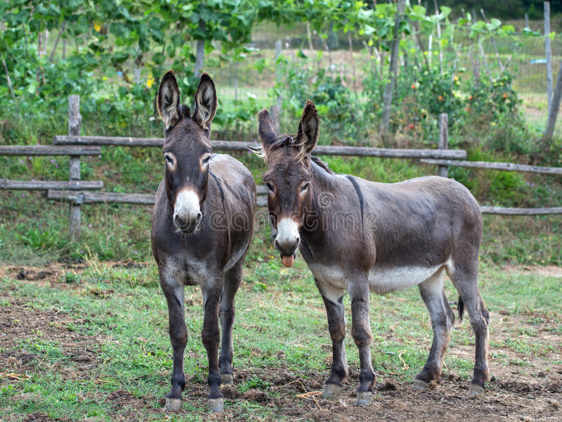 Download Pair Of Donkeys Royalty Free Stock Photos - Image: 33774228