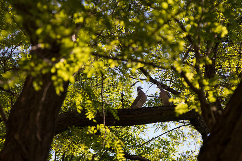 Pair of doves in a tree stock photo